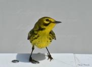 prarie warbler