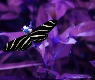 Purple butterflycrp